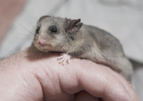 mountainpygmypossumcropped_4